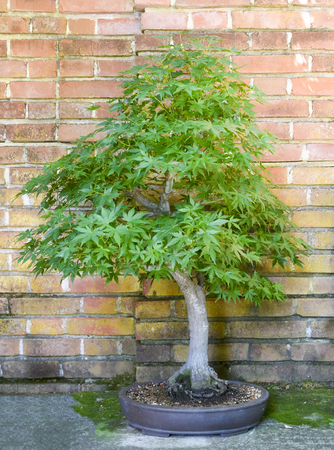 Bonsai maple tree in front of an orange brick wall. Zdjęcie Seryjne