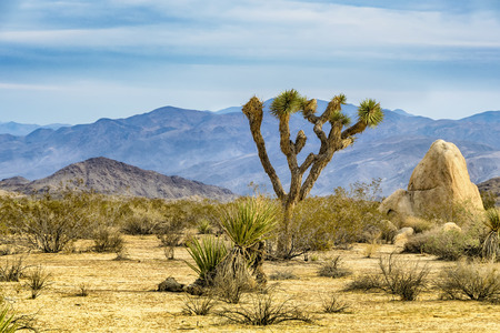 Joshua Tree, or Yucca brevifolia, native to the arid southwestern United States.
