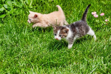 Dwa kociaki, żółty i brązowy biały, spacerują po trawie w słoneczny dzień.