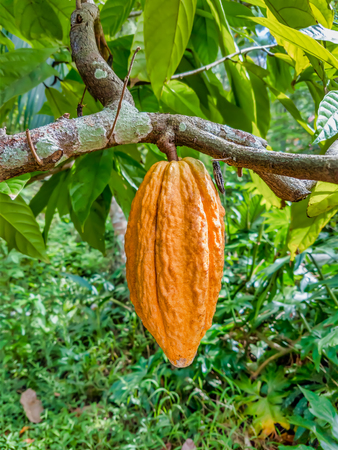 Orange unripe cocoa fruit hanging from the branch. Banque d'images