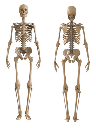 rear view: Skeleton front and rear view. Plastic layout of the human skeleton on white background. 3d illustration