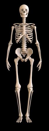 Skeleton front view. Stock Photo