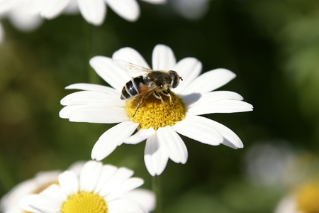 A wasp on a marguerite