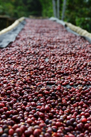 Coffee cherries lying to dry on bamboo raised beds in Boquete, Panama 33
