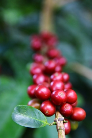 fairtrade: Coffee cherries on a coffee tree in Boquete, Panama 34 Stock Photo