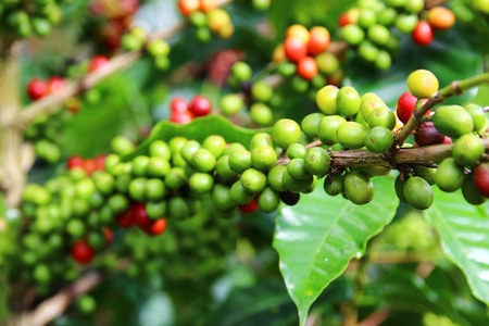 fairtrade: Coffee cherries on a coffee tree in Boquete, Panama 24
