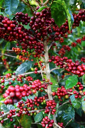 fairtrade: Coffee cherries on a coffee tree in Boquete, Panama 44