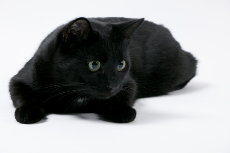Black cat lying in front of a white background