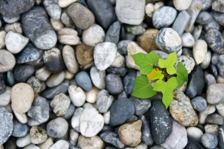 石や小石の背景から植物の成長。瞑想と健康的な生活のための静かな情景。クローズ アップとマクロを残します。平面図です。