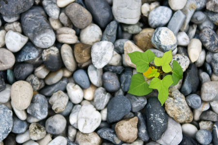 Plant growth from stone or pebbles background. Tranquil scene for meditation and healthy life. Close up and macro leaves. Top view.
