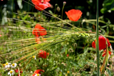 red poppies and wheat photo