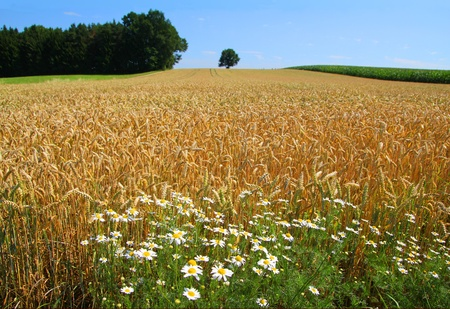 rural landscape with wheat and flowers