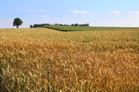 ripe wheat field