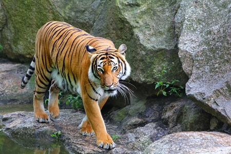 tigers: tiger in stony landscape Stock Photo