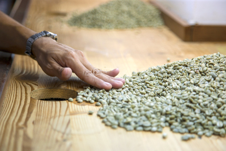 sort out: hand sorting out some green raw coffee beans