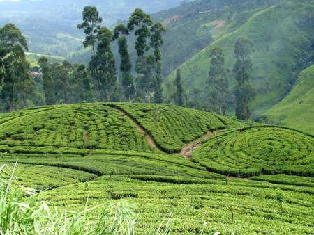 tea plantation Stock fotó