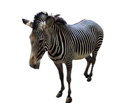 dobbin:                                zebra Stock Photo
