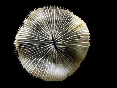 plancton: Coral en el fondo negro
