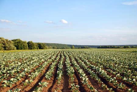 furrows: field