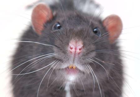 curiously rat