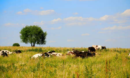 the cows on the meadow Stock Photo - 3229981