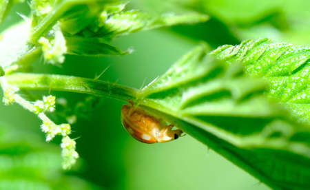 coccinellidae: ladybird on the leaf Stock Photo