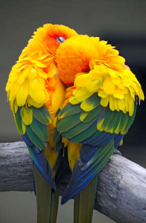a couple of parrots - the Sun Conure photo