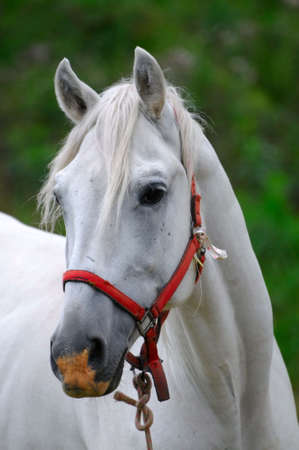the white horse Stock Photo