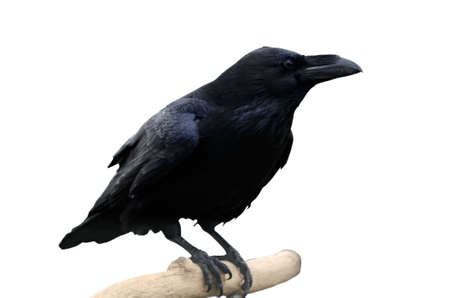 dreary: the crow