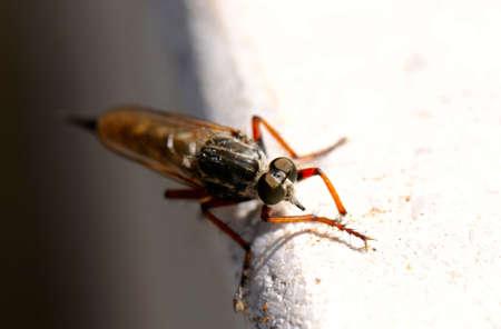 asilidae: robber fly (Asilidae) Stock Photo