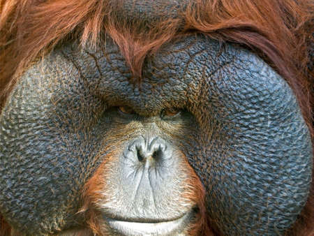 Orangutan close-up                                photo