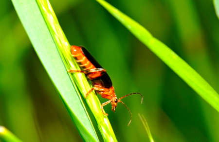 cantharis: Soldier beetle (Cantharis livida) Stock Photo