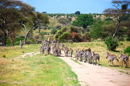 herd of zebras in african savannah