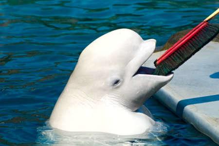 Beluga (White Whale) with brush photo