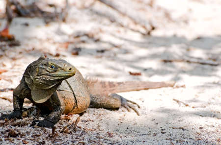Wild iguana, Cayo Iguanas, Cuba Stock Photo - 6592960