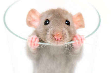 small dumbo rat looking from glass