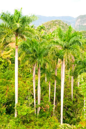 palm in Vinales valley, Cuba photo