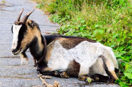 goat Stock Photo - 8240928