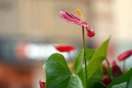 waxy: Red Anthurium Red waxy leaf flower