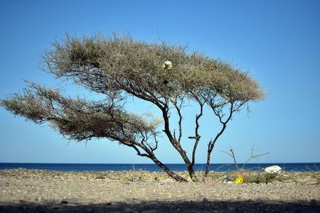 aqa: Trash on Alone Acacia tree on the Fujairah Beach, United Arab Emirates
