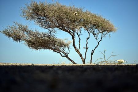 aqa: Alone Acacia tree on the Fujairah Beach, United Arab Emirates