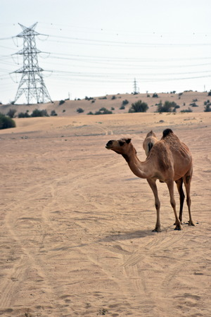 els: Camels in Dubai Desert in day, Dubai, United arab Emirates