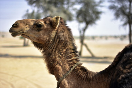 els: Camels around Dubai Desert in day, Dubai, United arab Emirates