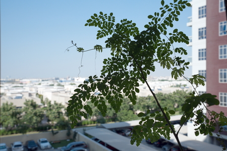 Close-up Drumstick tree leaves, Moringa leaves with the blurred background from the balcony Stock Photo
