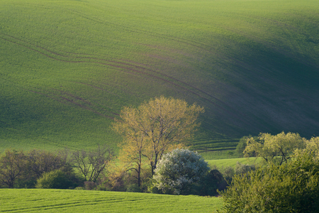 Green waves landscape with trees suitable for backgrounds or wallpapers, natural seasonal landscape. Southern Moravia, Czech republic