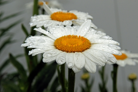 Daisies after the rain