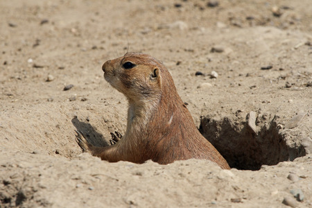 den: Prairie dog looking out of its den Stock Photo