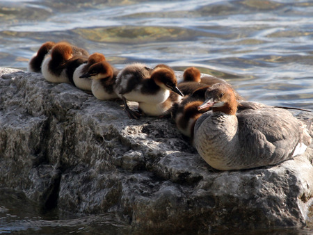 Photo of a female merganser and her babies sunning themselves on a rock