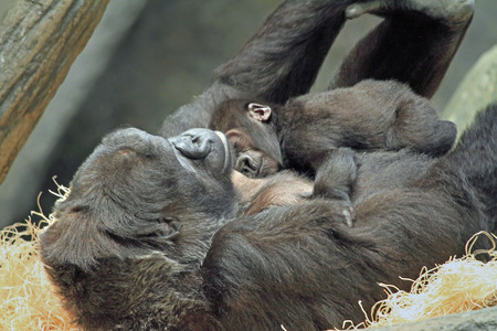 Female Gorilla with Sleeping Baby