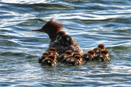 Photo of a female Merganser swimming with her ducklings